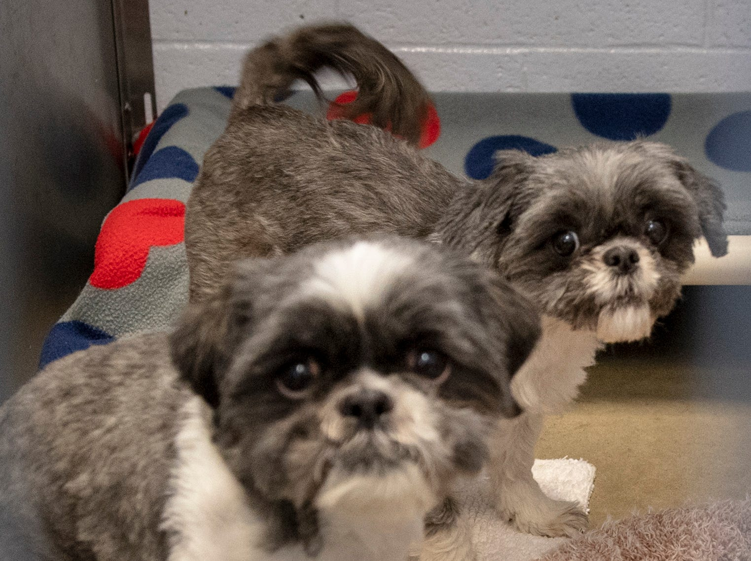 We are a pair of 4 year-old Shih-Tzus We were brought to the York County SPCA because our owner developed health problems and can no longer care for us. Sammy lived with dogs and kids and did really well. He is a little shy at first and is pretty low energy and would prefer to lounge around. The same for Annie with kids and dogs, neither has lived with carts. Annie is a lap loving affectionate dog looking for a home that can provide her with endless attention.