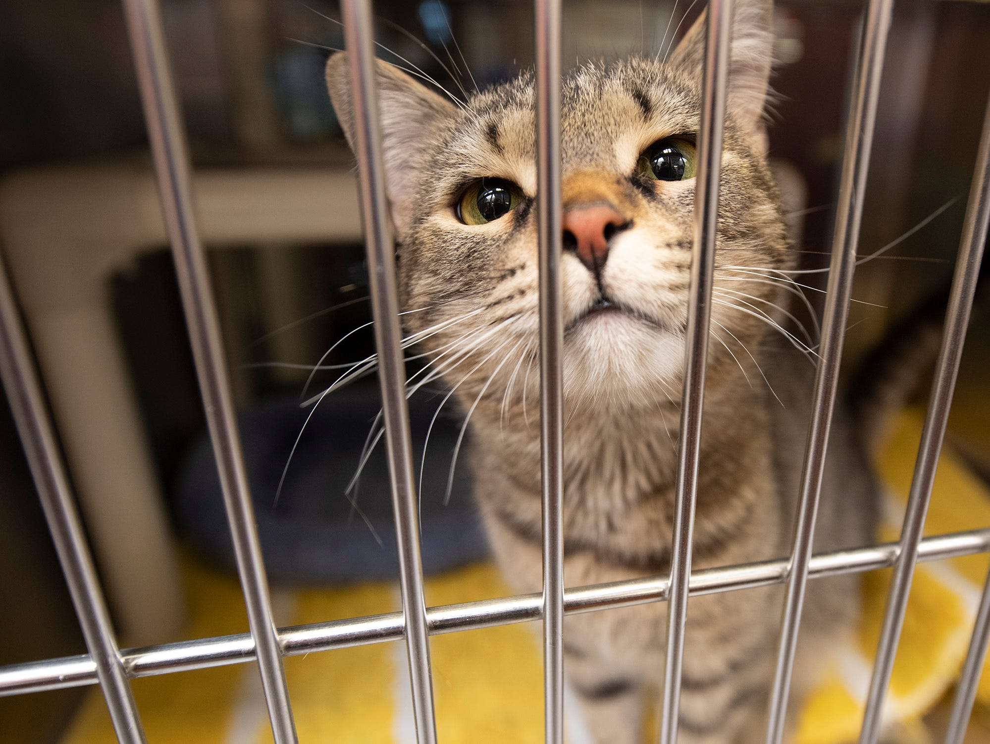 My name is Nelson, a 3 year-old brown Tabby. I was found on Fahs Street in York Township. I am a curious cat.