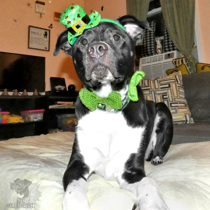 Ollie the dog is prepared for whatever St. Patrick's Day throws at him. Preferably a treat.