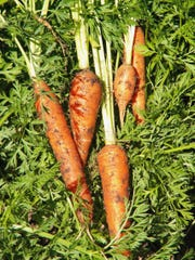 Carrots should be planted directly into a well-drained soil, rich in organic matter.