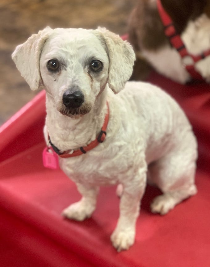 Kitty is a 4-year-old, female, dachshund and poodle mix. She was very matted and had to be shaved. She's learning house and leash manners. She'd do best in an adult-only home. Visit Tails of Rescue Adoption Center, 981 Lake Blvd., Redding. Call 448-7444. Go to http://tailsofrescue.org.