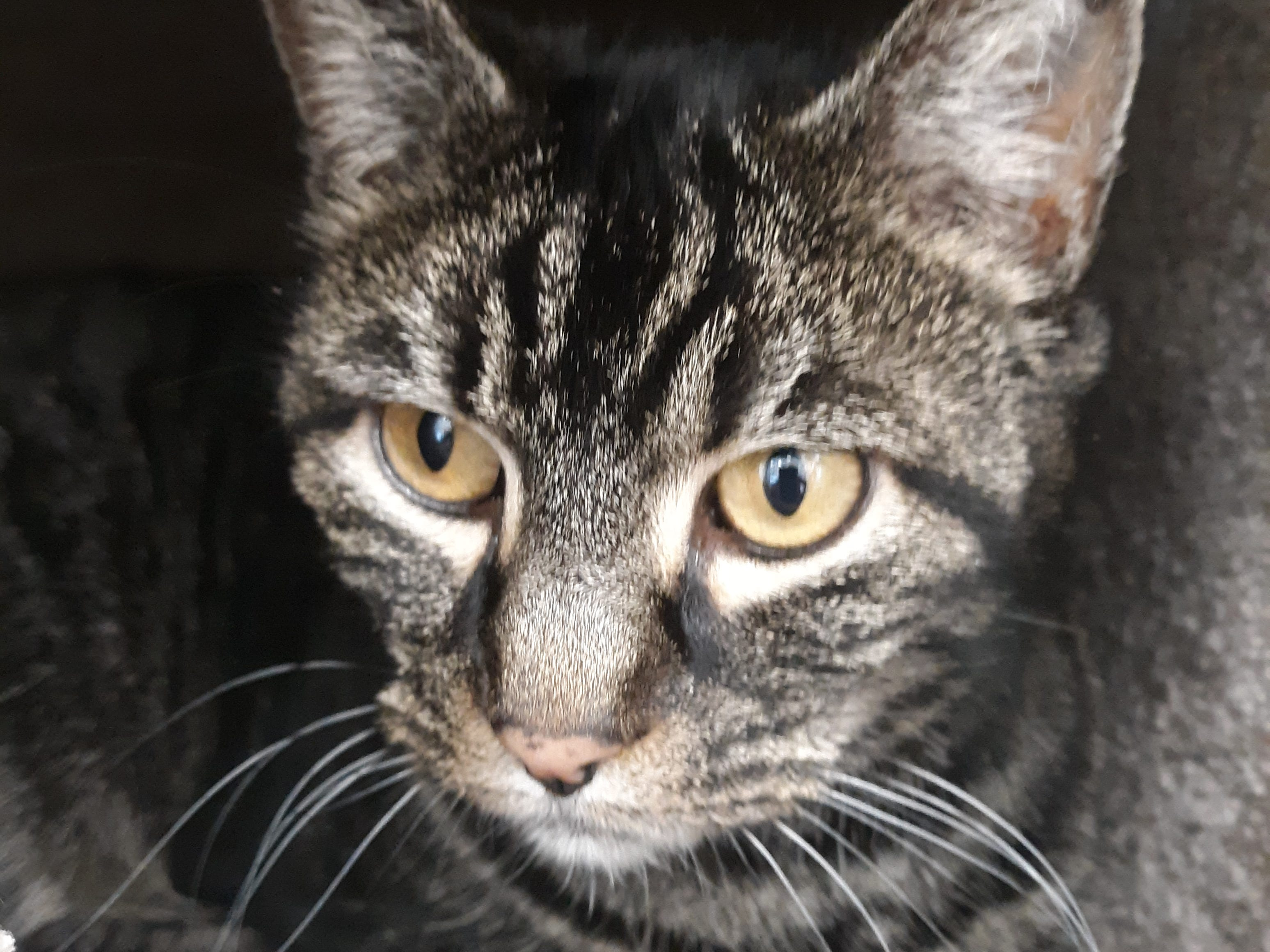 Sophie is a 5-year-old, female, domestic shorthair dark tabby cat who is very sweet. She is spayed, vetted and current vaccines. All animal adoptions include spaying or neutering and vaccinations. Apply with Another Chance Animal Welfare League at www.acawl.org. Call 356-0698.