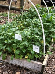 Mustards are a good cover crop for trying to control nematodes, as they contain a chemical, glucosinolate, that may help repel them in soil.