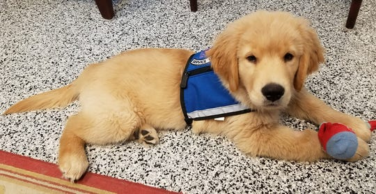 In 2017, Vero Beach philanthropist Kathi G. Schumann bought two Golden Retriever puppies that were trained by Dogs for Life for veterans in Vero Beach and Indian River County. Pictured here is Good Boy, who on April 6 is graduating as Rufus Bengayk.