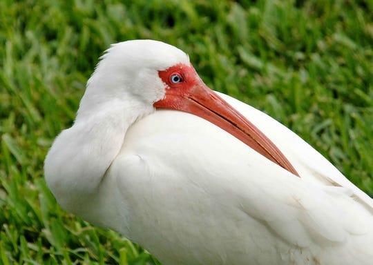 John Sahlman found this resting ibis at a park in Vero Beach.