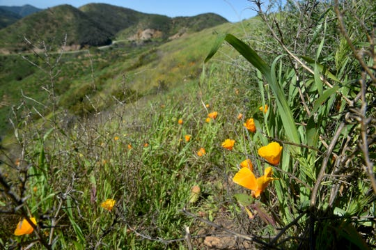 California poppies bloom along a south-facing hill in Point Mugu State Park near Rancho Sierra Vista in Newbury Park.