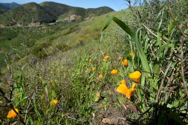 California poppies bloom along a south-facing hill in Point Mugu State Park near Rancho Sierra Vista in Newbury Park.