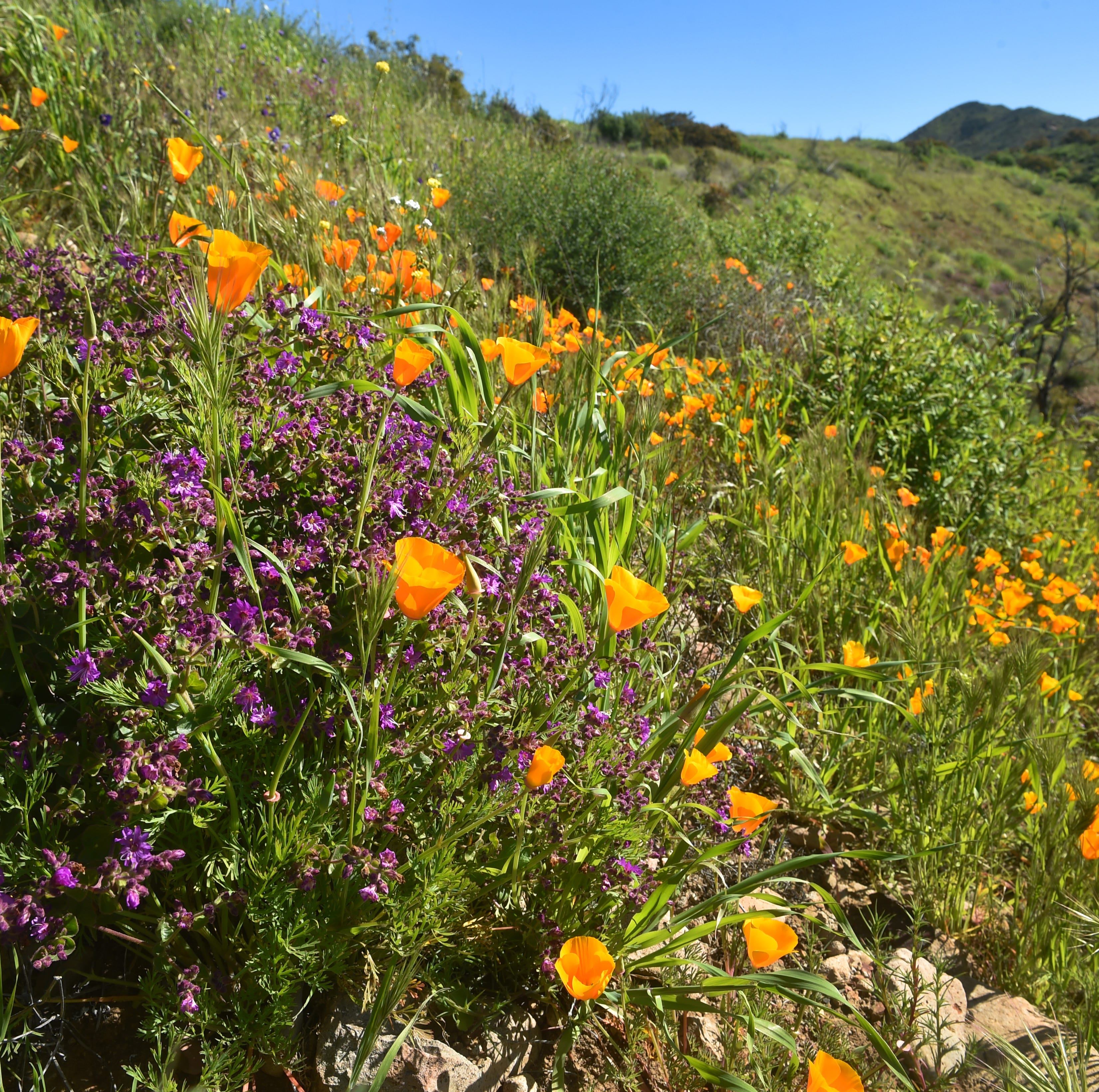 What is a super bloom and where can you see wildflowers in Ventura County?