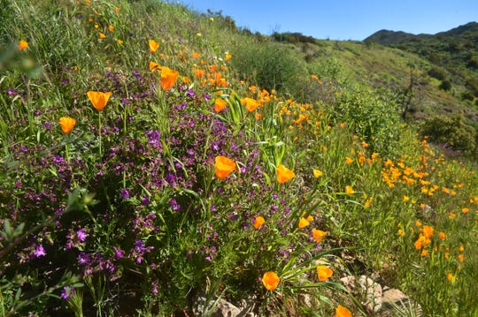 Purple phacelia and poppies bloom along a south-facing hill in Point Mugu State Park near Rancho Sierra Vista in Newbury Park.