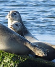 Four species of seals are known to stop by the Delaware coast in winter.