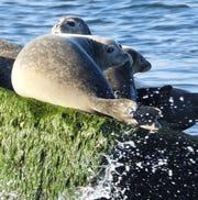 These seals were not shy as they exchanged glances with a group of birders off the Delaware coast.