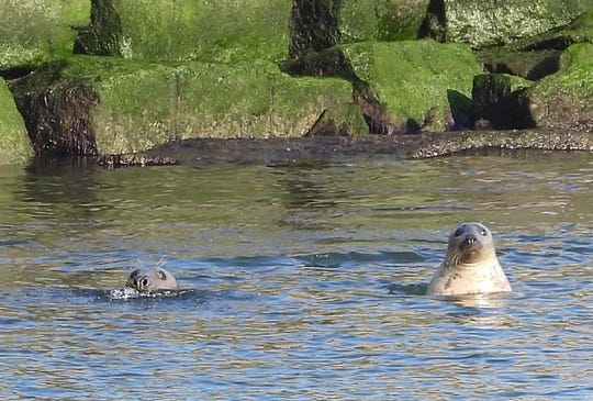 Some say seals are really just like aquatic dogs.