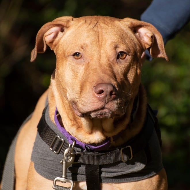 Chewy is the Kitsap Humane Society's pet of the week