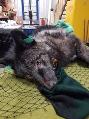 This Feb 26, 2019 photo shows an Ontario wolf being processed while under sedation at the handling station in Wawa, Ontario before being released to Isle Royale National Park in Michigan.
