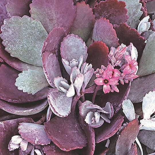 """""""Silver Gray"""" Kalanchoe pumilaSilvery gray leaves with toothed margins at the tips; leaves have a rosy tint, very heat tolerantAdaptable As HouseplantHeat TolerantDrought Tolerant"""