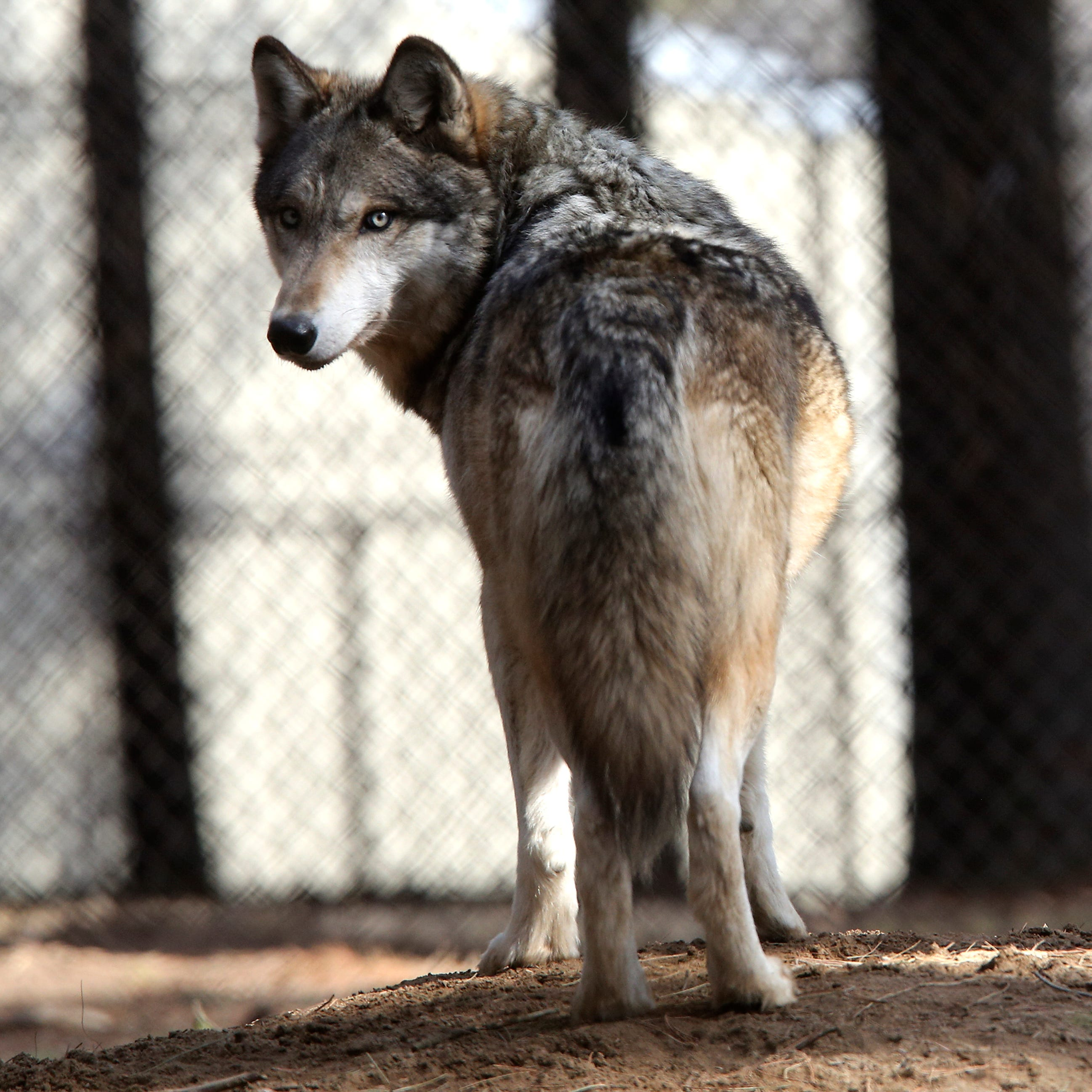 Letter: DNR disputes wolf killing claims