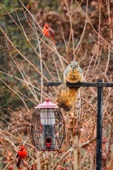 "Finding no access to the sunflower seed in this ""squirrel resistant"" feeder, this squirrel--within a matter of days--figured out how to twist the feeder from its hanger, dropping feeder and feed to the the ground for leisurely dining."