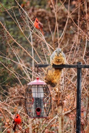"""Finding no access to the sunflower seed in this """"squirrel resistant"""" feeder, this squirrel--within a matter of days--figured out how to twist the feeder from its hanger, dropping feeder and feed to the the ground for leisurely dining."""