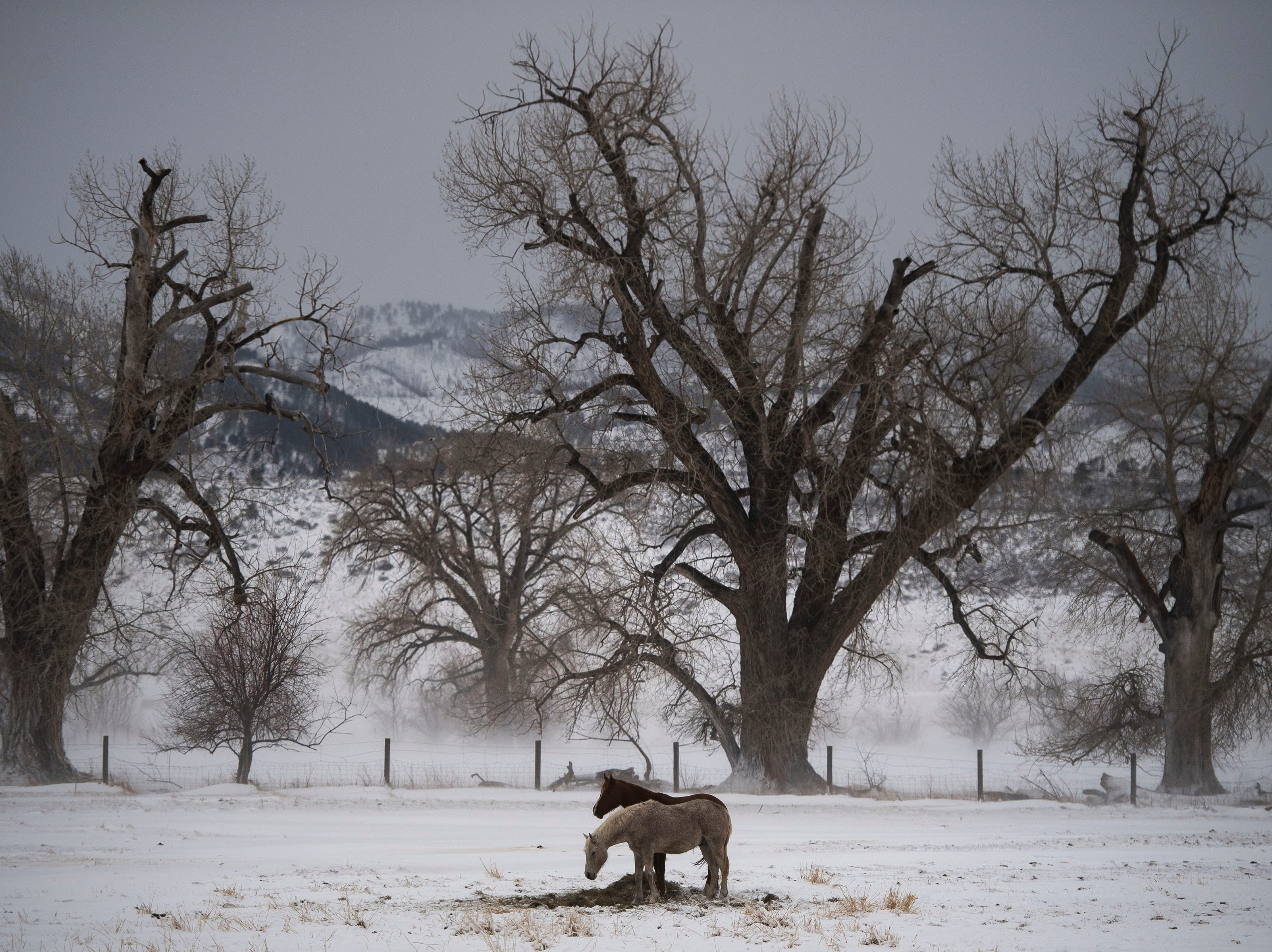 Horses graze North of Laporte during a break in a snowstorm on Wednesday, March 13, 2019, in Fort Collins, Colo.