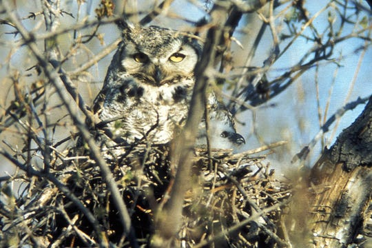 Great Horned Owls are already sitting on eggs now, that will soon hatch if they haven't already.