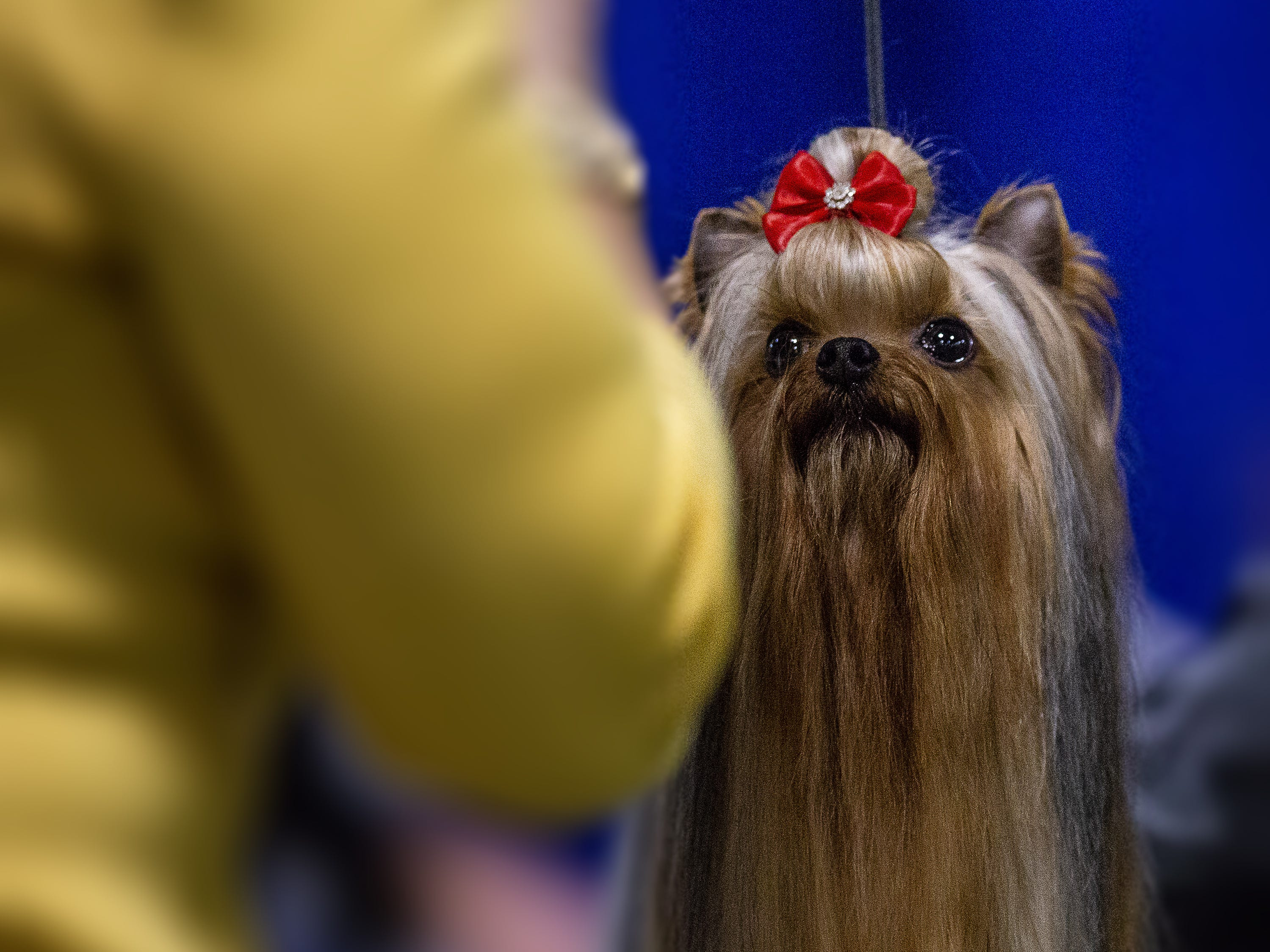 Nunu, a Yorkshire terrier, looks to her handler while being judged at the 2019 Kentuckiana Cluster of Dog Shows at the Kentucky Exposition Center. March 14, 2019.