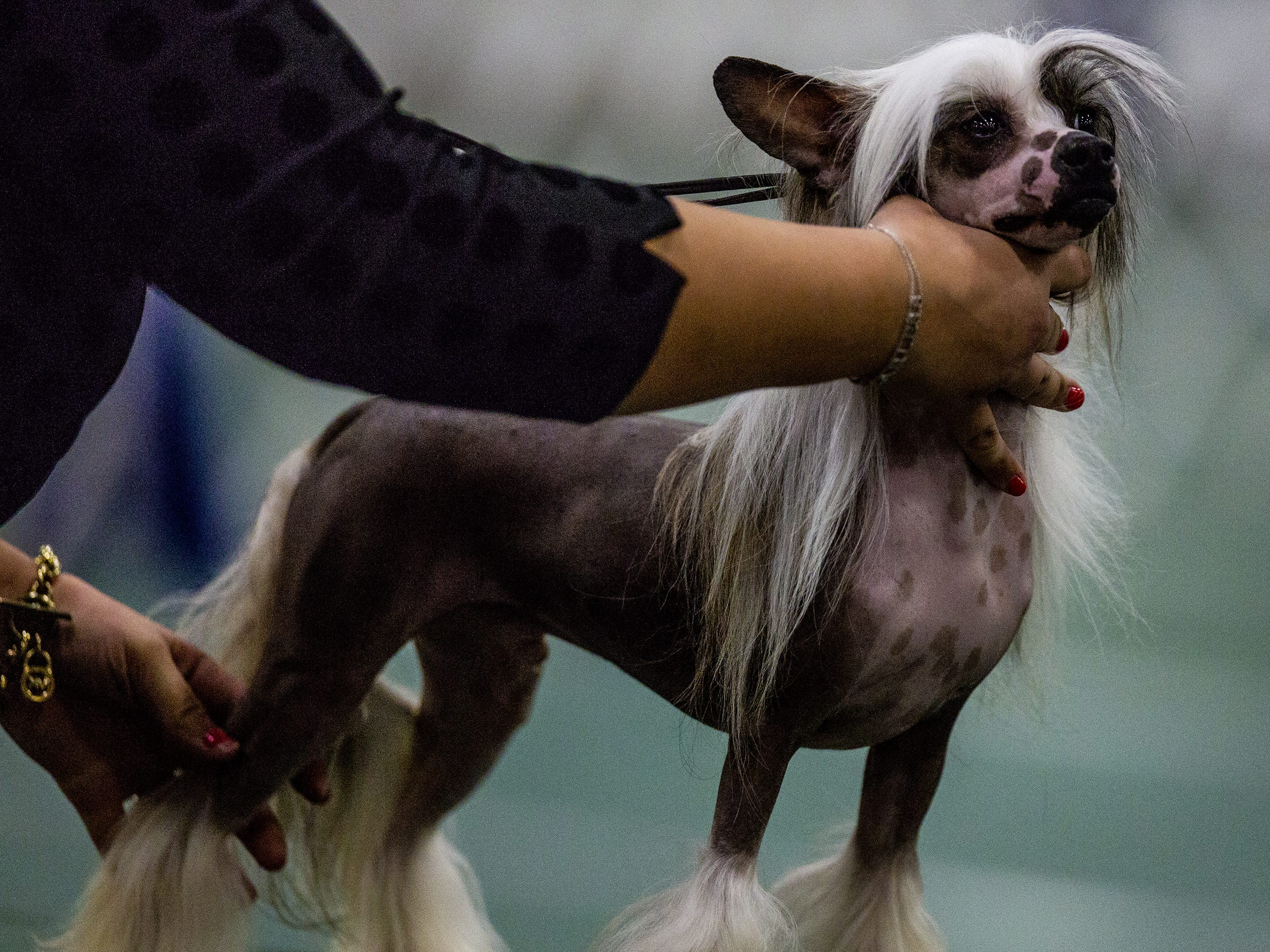 A Chinese Crested is positioned for judging at the 2019 Kentuckiana Cluster of Dog Shows at the Kentucky Exposition Center. March 14, 2019.