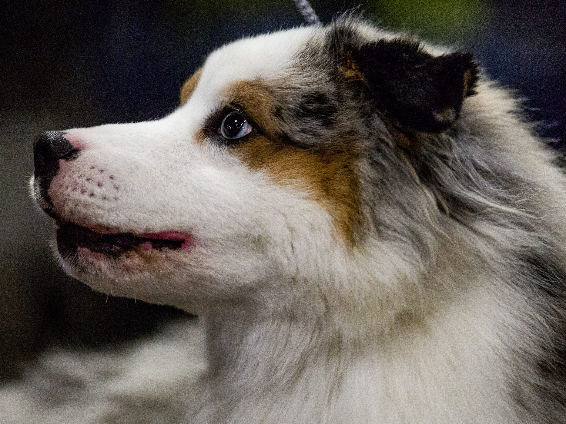 An Australian Shepherd pup barks to get attention at the 2019 Kentuckiana Cluster of Dog Shows at the Kentucky Exposition Center. March 14, 2019.