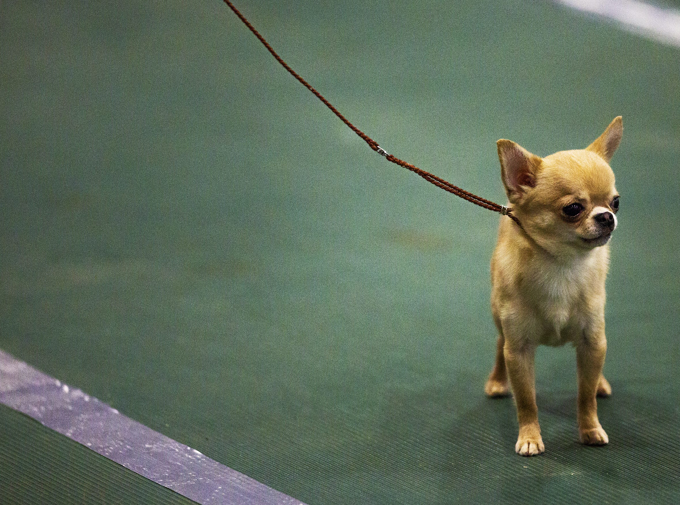 A Short Haired Chihuahua is led around the ring at the 2019 Kentuckiana Cluster of Dog Shows at the Kentucky Exposition Center. March 14, 2019.