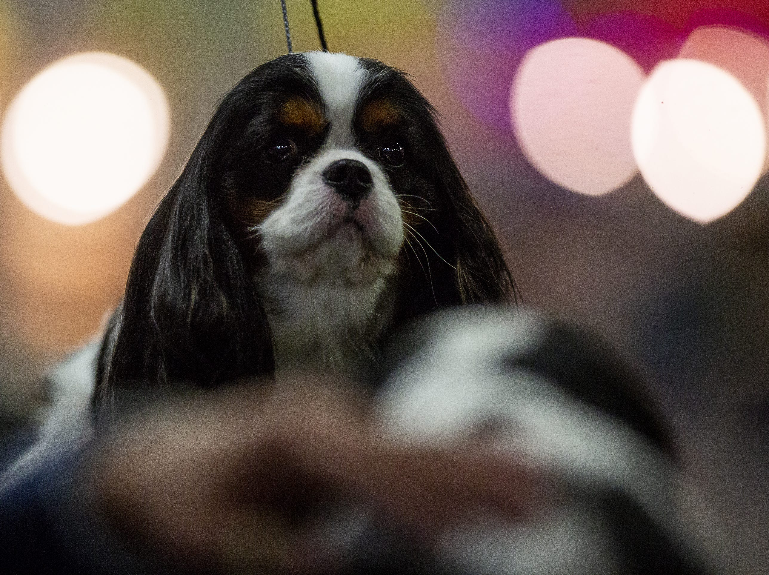 Sandy, a Cavalier King Charles spaniel, waits to be groomed before entering the ring at the 2019 Kentuckiana Cluster of Dog Shows at the Kentucky Exposition Center. March 14, 2019.