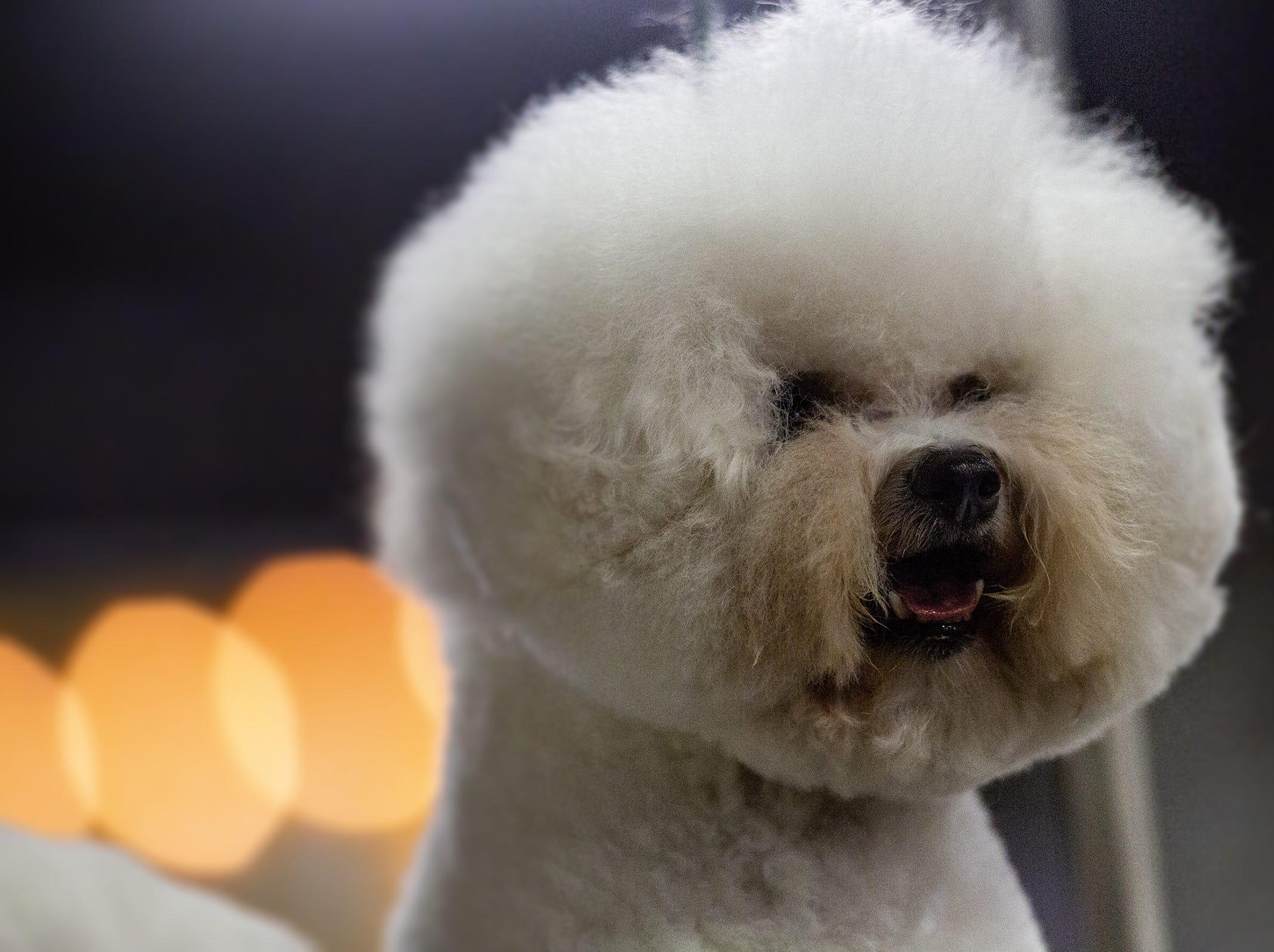 Zach, a Bishon Frise, waits for his turn in the ring at the 2019 Kentuckiana Cluster of Dog Shows at the Kentucky Exposition Center. March 14, 2019.