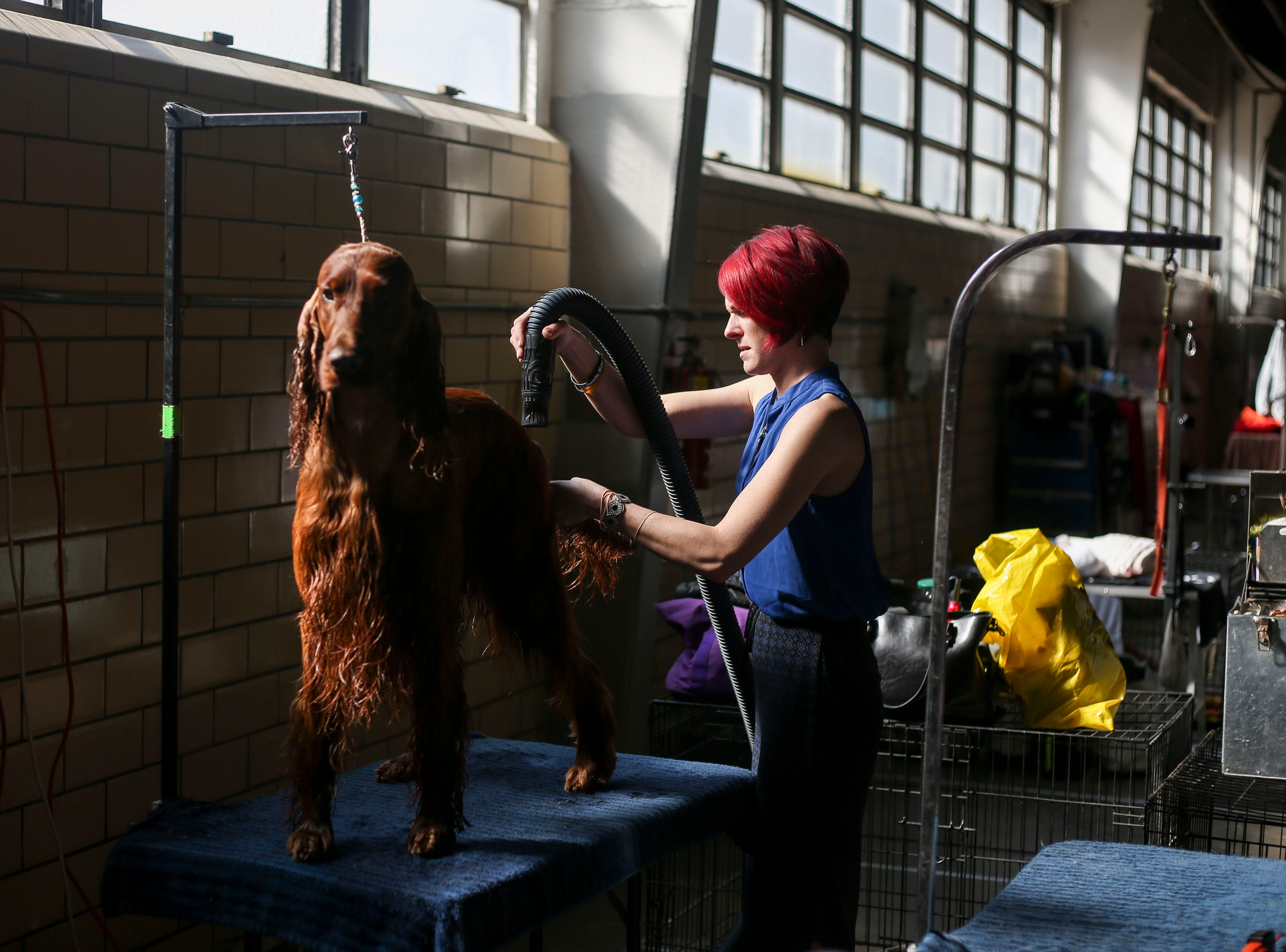 Liz Kaunzer grooms Hauken, a 3 year-old Irish setter, before competition during the Kentuckiana Cluster of Dog Shows at the Kentucky Fair and Exposition Center in Louisville, Ky. on Thursday, March 14, 2019.