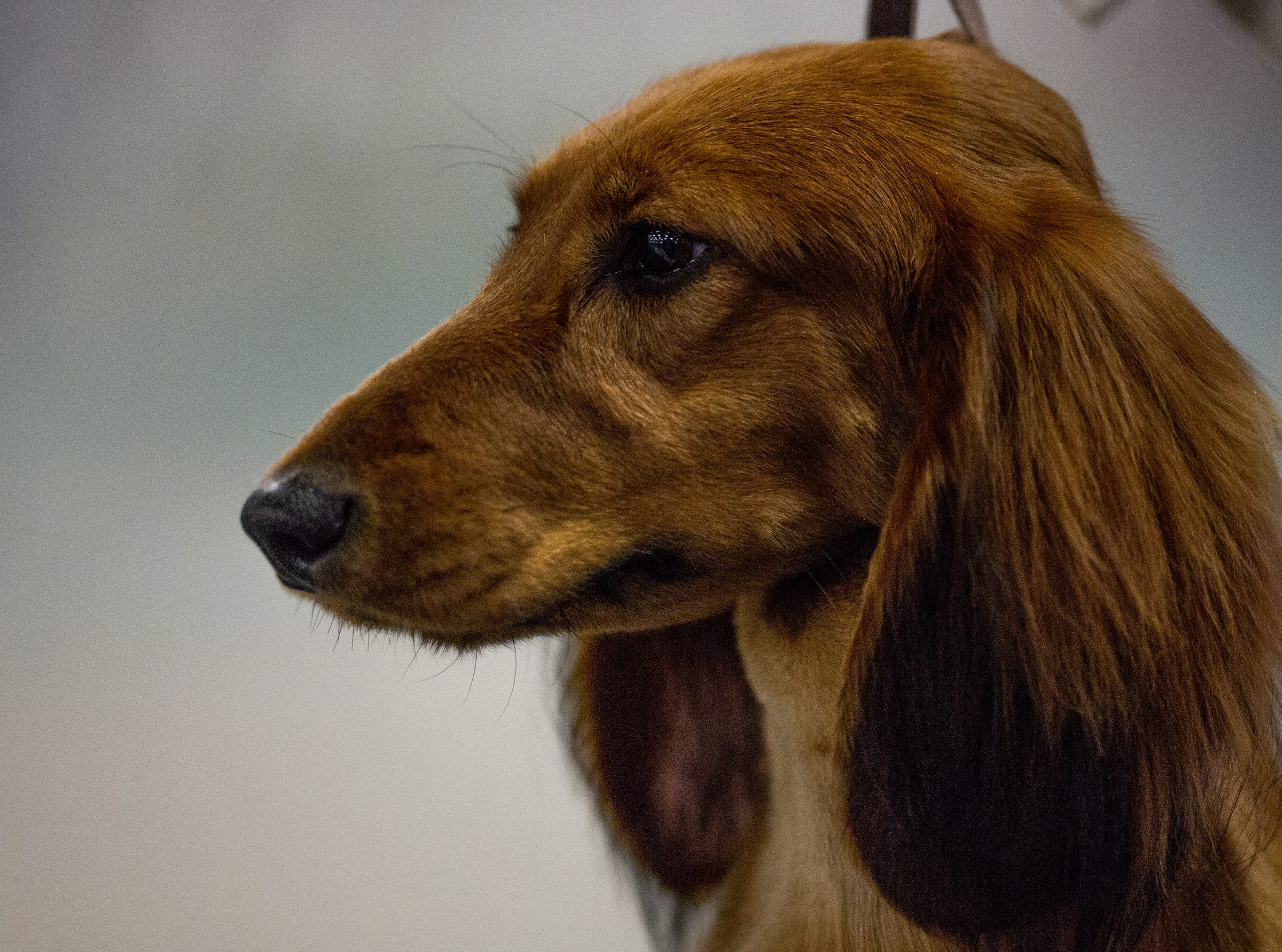 Ribbon, a long-haired dachsund, waits to enter the ring at the 2019 Kentuckiana Cluster of Dog Shows at the Kentucky Exposition Center. March 14, 2019.