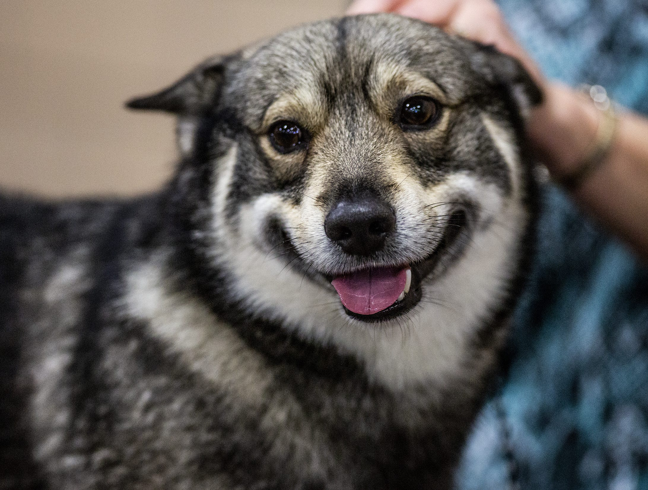 Grayson, a Swedish vallhund, enjoys being groomed at the 2019 Kentuckiana Cluster of Dog Shows at the Kentucky Exposition Center. March 14, 2019.