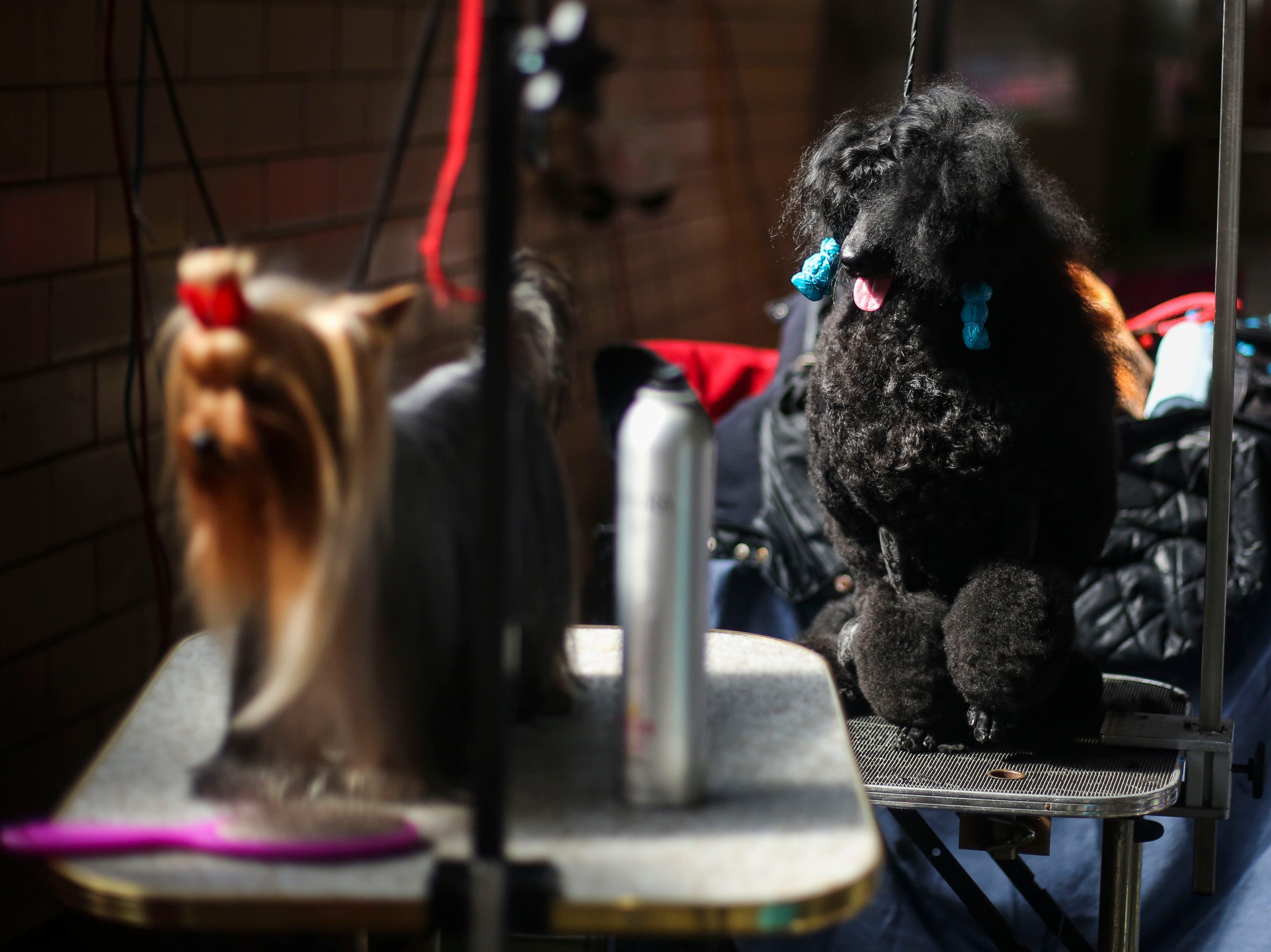 Telsa, a 16-month-old miniature poodle, waits competition during the Kentuckiana Cluster of Dog Shows at the Kentucky Fair and Exposition Center in Louisville, Ky. on Thursday, March 14, 2019.