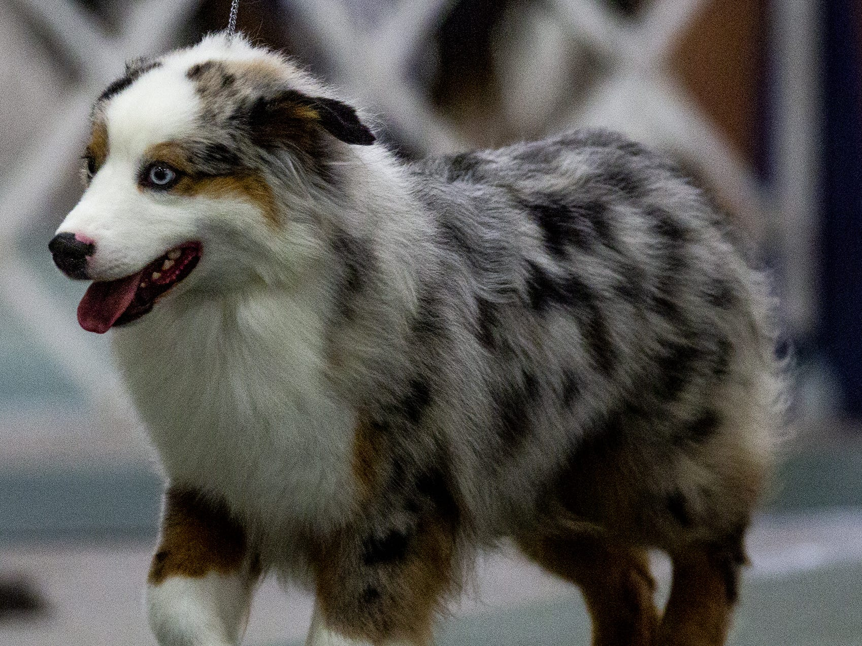An Australian Shepherd pup learns the ropes at the 2019 Kentuckiana Cluster of Dog Shows at the Kentucky Exposition Center. March 14, 2019.