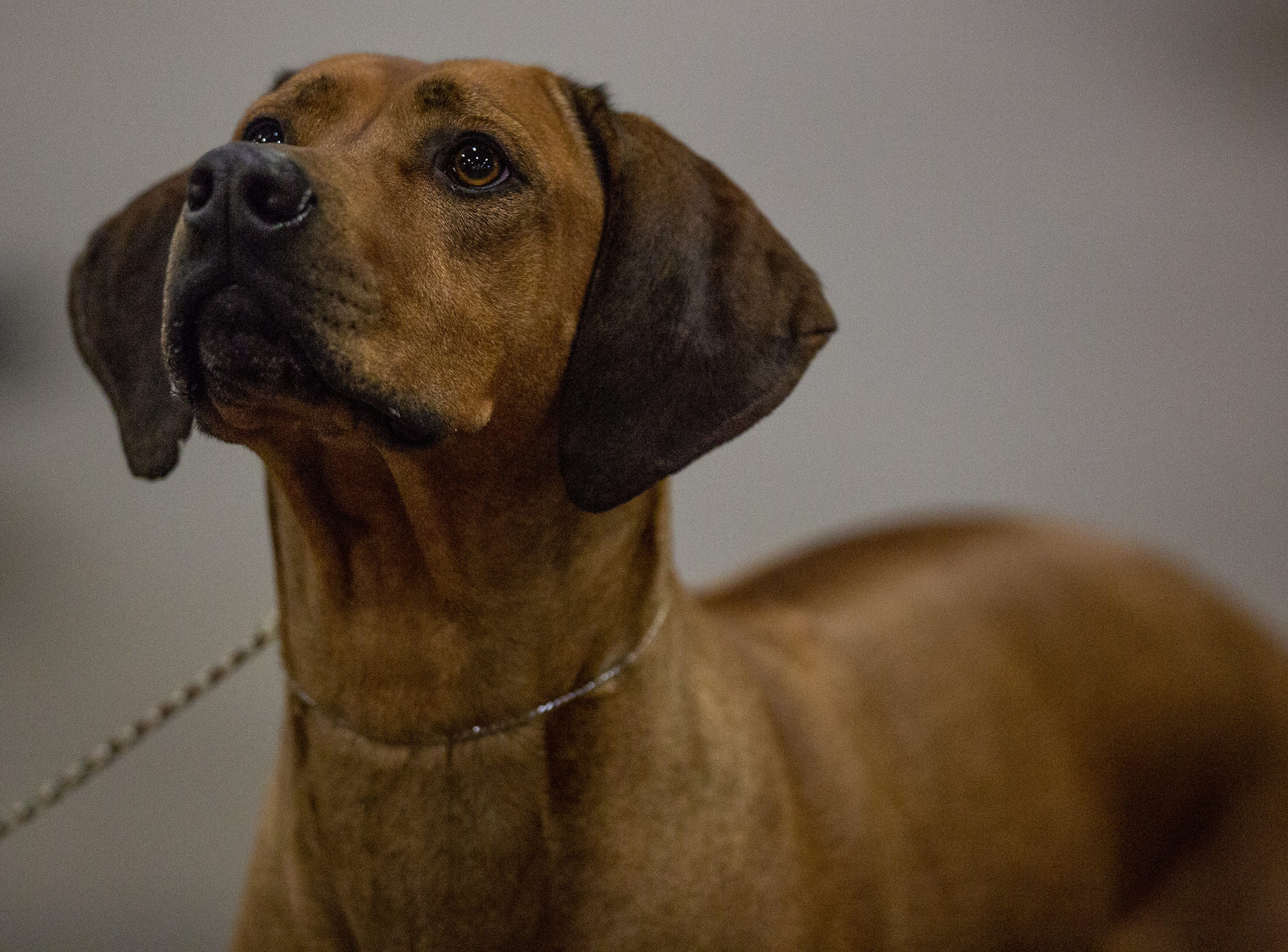 Hisani, a Rhodesian Ridgeback, is focused on getting a treat at the 2019 Kentuckiana Cluster of Dog Shows at the Kentucky Exposition Center. March 14, 2019.