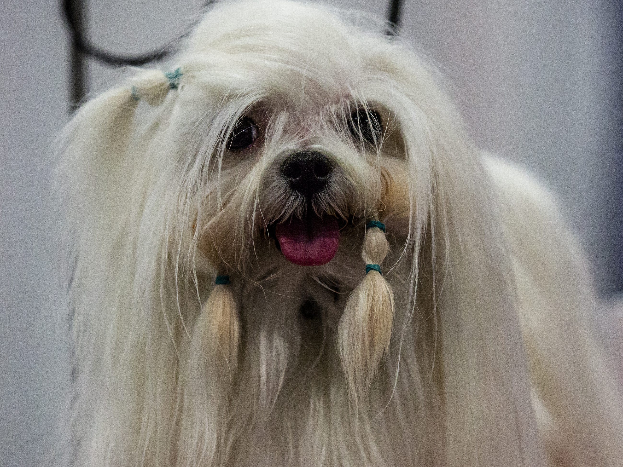 Timebomb, a Maltese, waits to be groomed at the 2019 Kentuckiana Cluster of Dog Shows at the Kentucky Exposition Center. March 14, 2019.