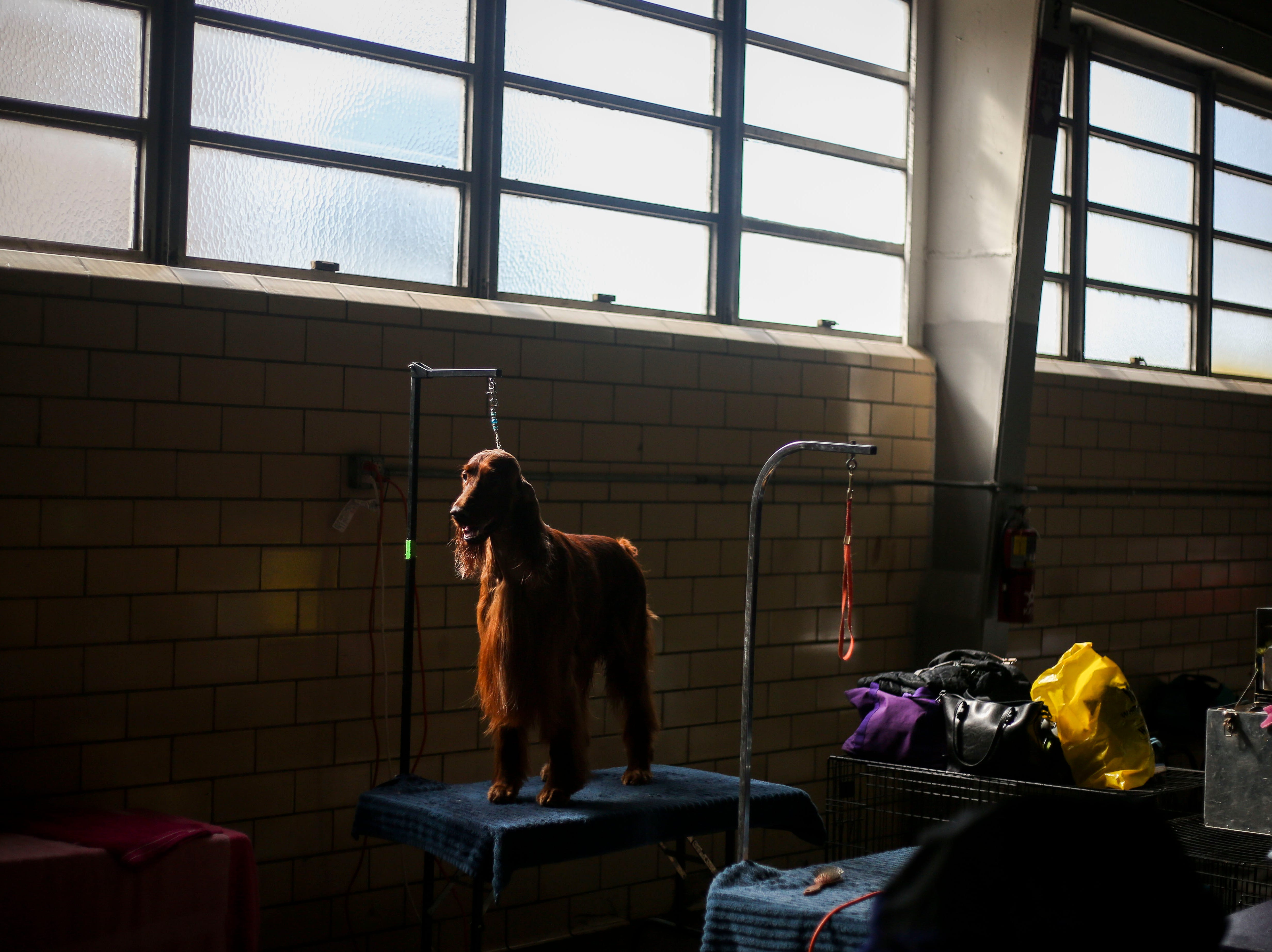 Hauken, a 3 year-old Irish Setter, waits competition during the Kentuckiana Cluster of Dog Shows at the Kentucky Fair and Exposition Center in Louisville, Ky. on Thursday, March 14, 2019.