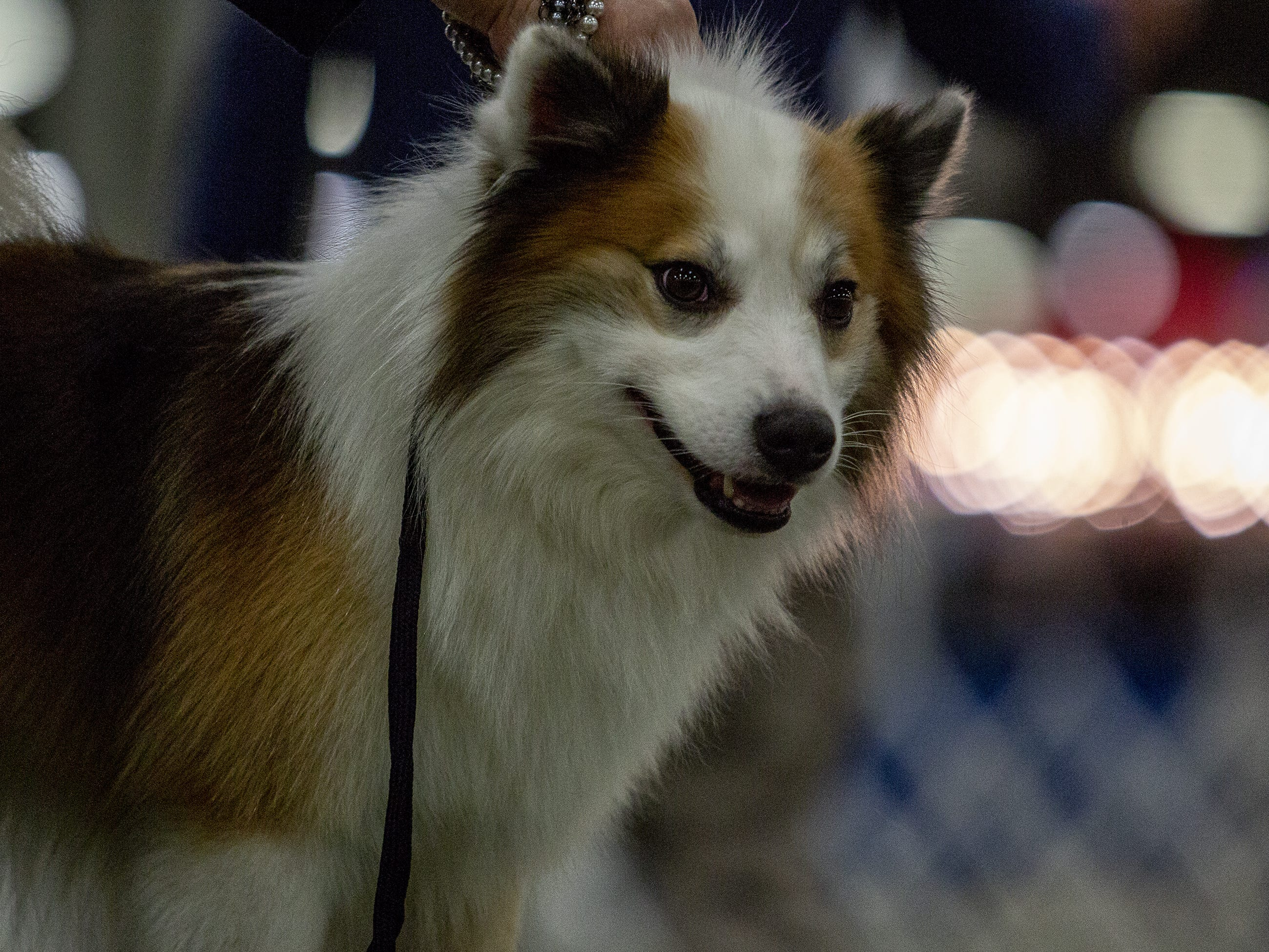Barrett, an Icelandic Sheepdog, waits for his judge at the 2019 Kentuckiana Cluster of Dog Shows at the Kentucky Exposition Center. March 14, 2019.