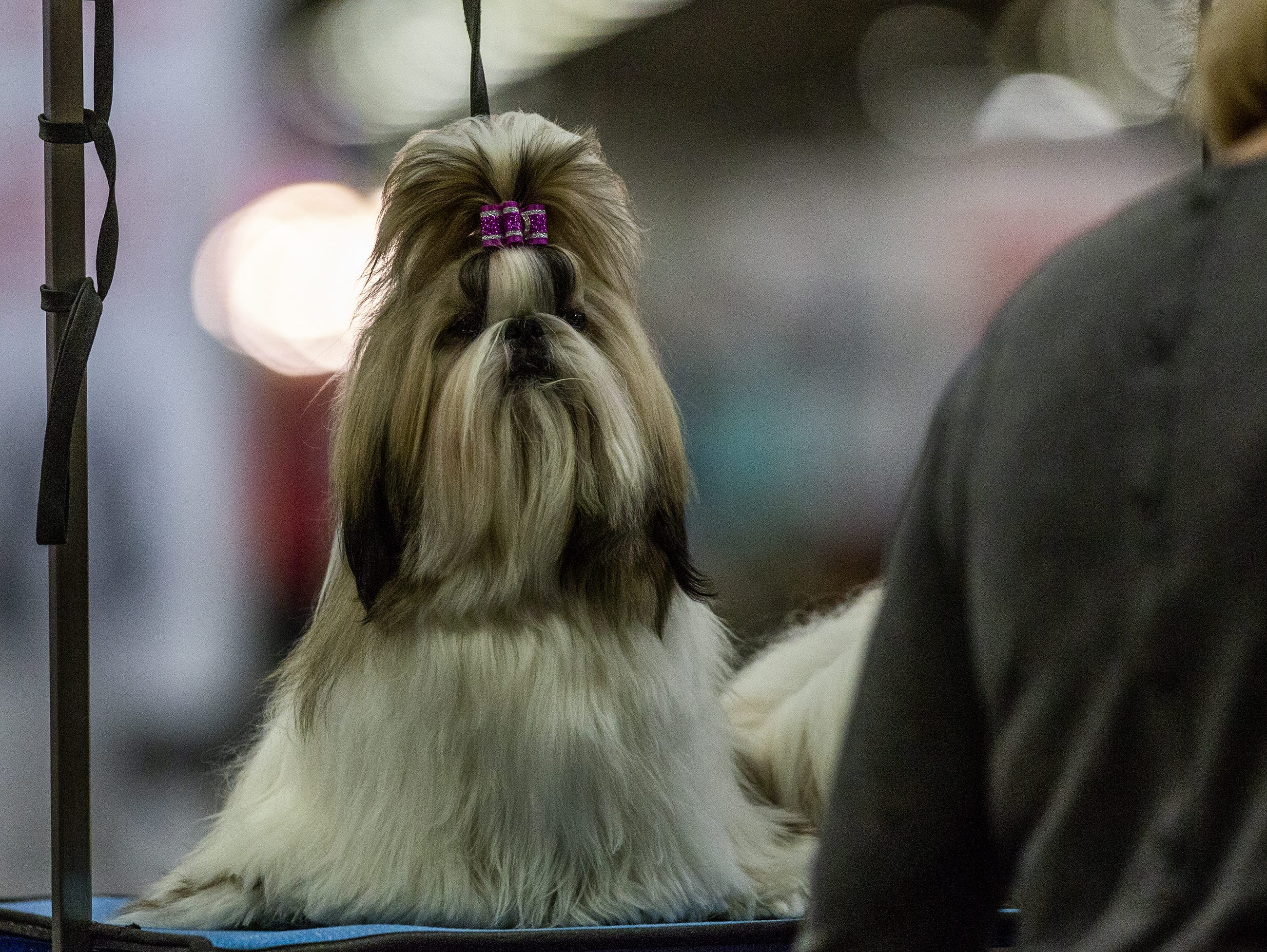 Pancy, a Shih Tzu, stands tall after having a ribbon put in her hair at the 2019 Kentuckiana Cluster of Dog Shows at the Kentucky Exposition Center. March 14, 2019.