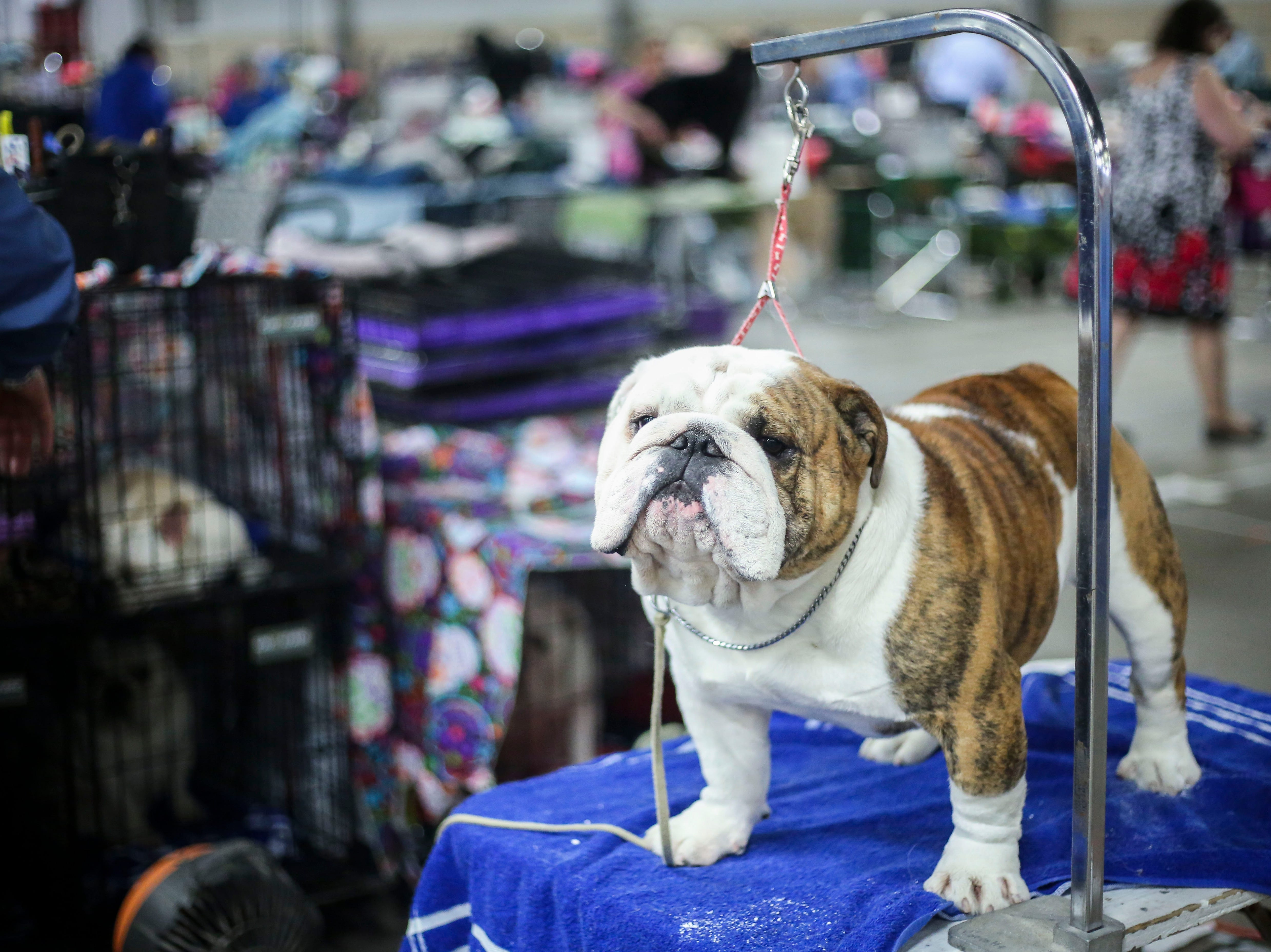 Chunk, a 2-year-old English bulldog, is groomed before competition during the Kentuckiana Cluster of Dog Shows at the Kentucky Fair and Exposition Center in Louisville, Kentucky, on Thursday, March 14, 2019.