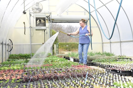 Laura Mast, greenhouse supervisor at Kingwood Center Gardens, waters perennials that will be sold to the public this year.