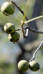 Black walnuts on the tree come encased in a green hull.