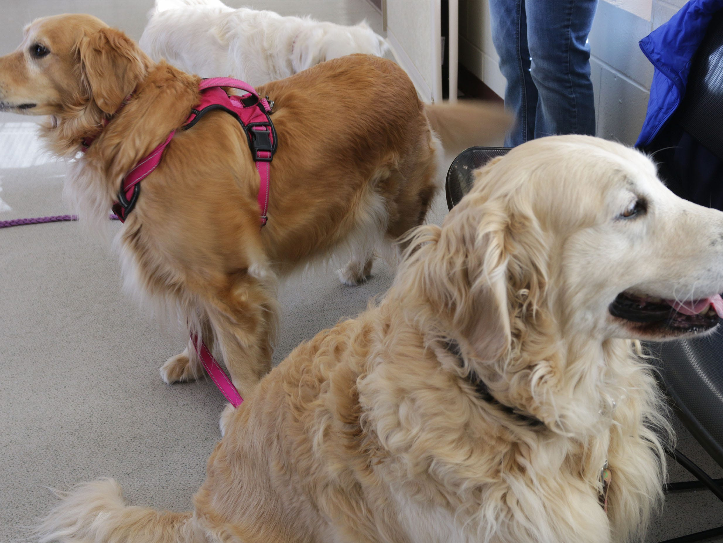 A pair of golden retrievers look about before the press conference at the Wisconsin Humane Society Ozaukee Campus, Thursday, March 14, 2109, in Saukville, Wis. The dogs, who will all eventually be adopted out, were part of the 36 live dogs that were seized in 2017 from Kinship Companions, a kennel that has been since shut down.