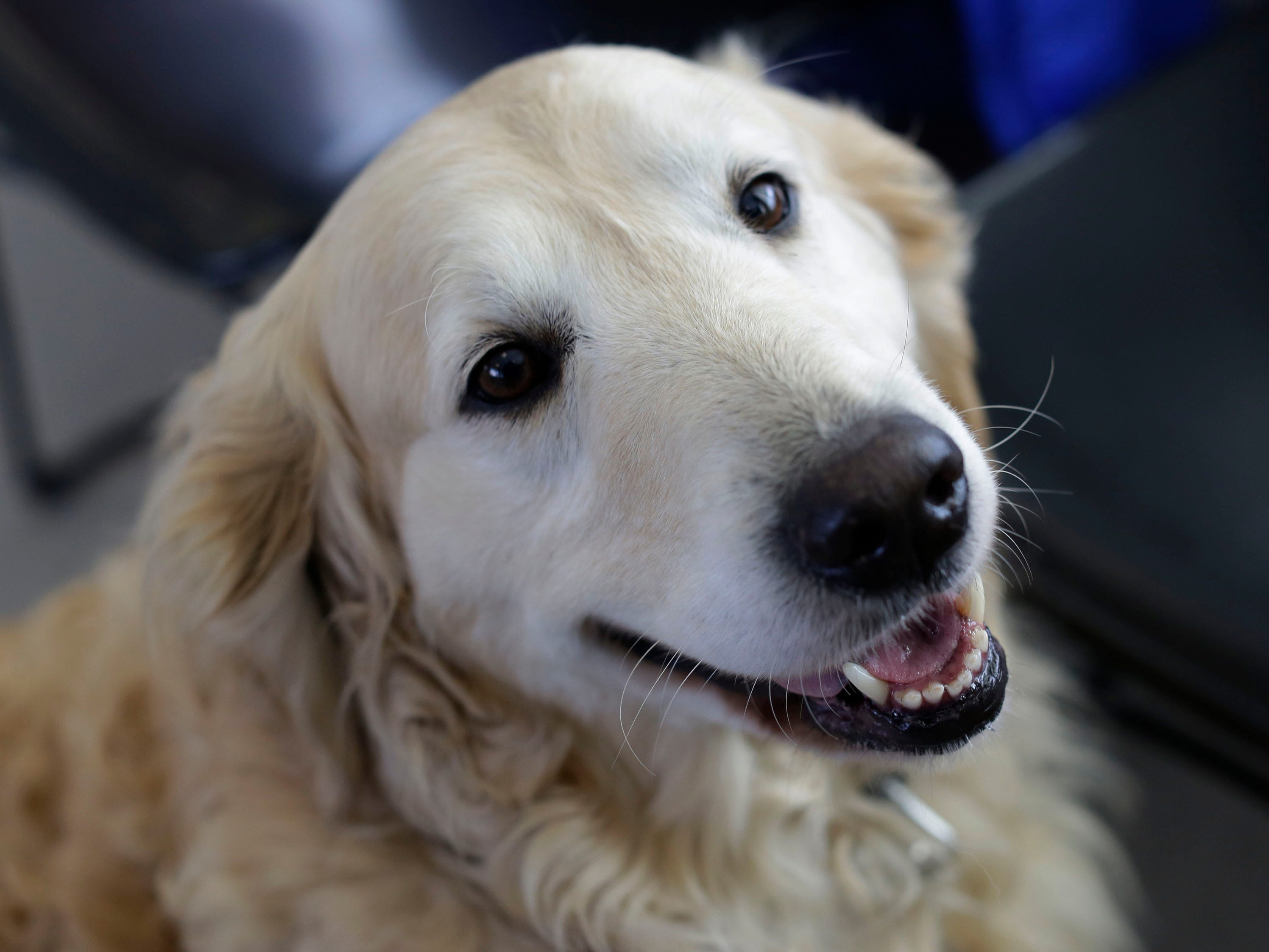 A golden retriever appears to smile before the press conference, Thursday, March 14, 2109, in Saukville, Wis.  This dog, who will all eventually be adopted out, was part of the 36 live dogs that were seized in 2017 from Kinship Companions, a kennel that has been since shut down.