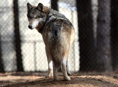 Wolves prove resilient, but proposal could curtail expansion
