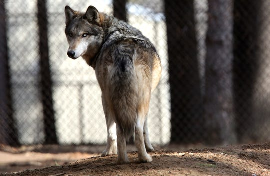 In this April 11, 2018 file photo, a gray wolf stands at the Osborne Nature Wildlife Center south of Elkader, Iowa. (Dave Kettering/Telegraph Herald via AP, File)