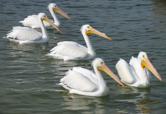 White pelicans along the Circumnavigational Salwater Paddling  Trail