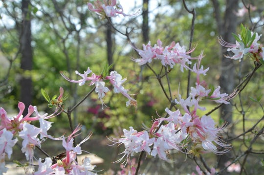 Wild Piedmont Azaleas (Rhododendron canescens) are attractive early season bloomers and a source of food for many native pollinators.