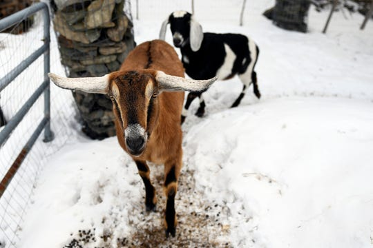"Lincoln, a Nubian goat, runs around with pasture mate Lucy at their home in Fair Haven, Vt. Lincoln was recently elected ""Pet Mayor"" on town meeting day. (The Rutland Herald via AP)"